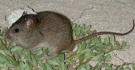 Bramble Cay melomys is also called the Bramble Cay Mosaic-Tailed Rat.