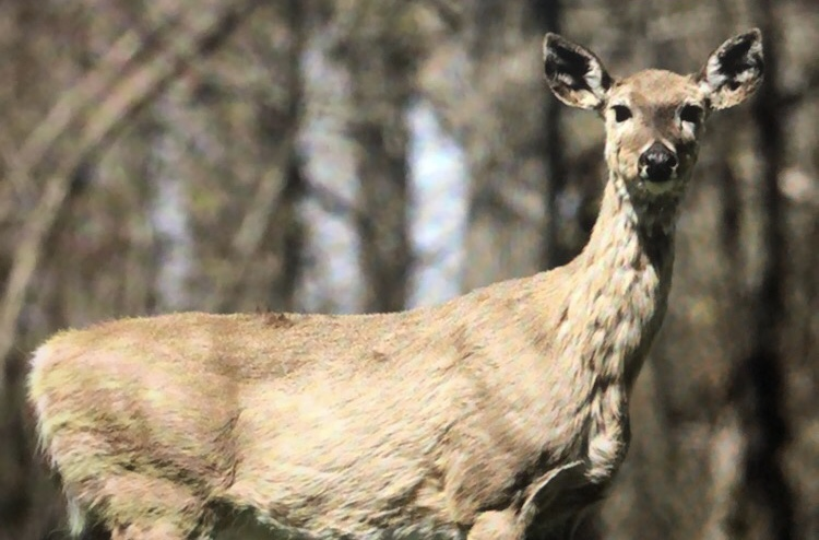 Deer infected by CWD.