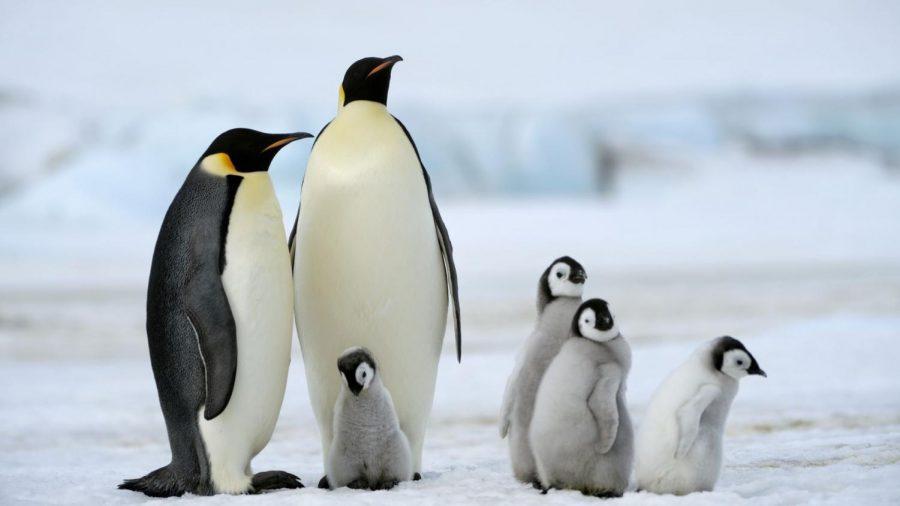 Emperor Penguins are native to Antarctica